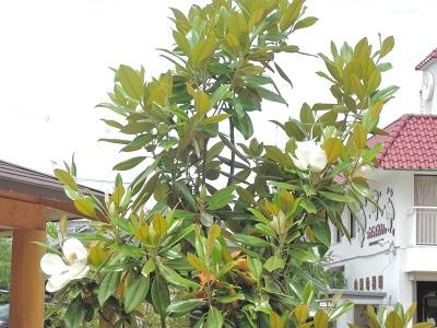 今年もタイサンボクの花が咲きました