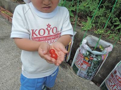 初収穫 プチトマト
