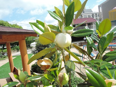 タイサンボクの花が咲きました