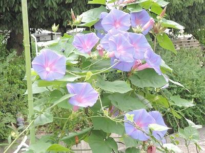 ブルーオーシャンが咲いています